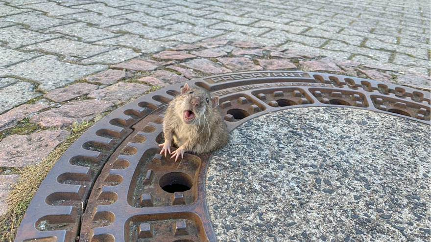 Pictures of fat rat trapped in manhole cover captures hearts of Europe