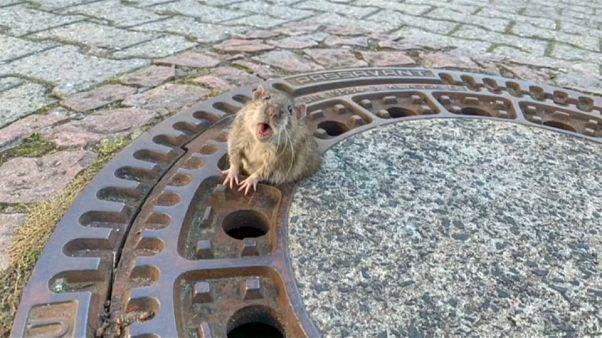 Die Ratte vor ihrer Rettung