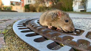 """Спасение крысы: """"Все животные равны"""""""