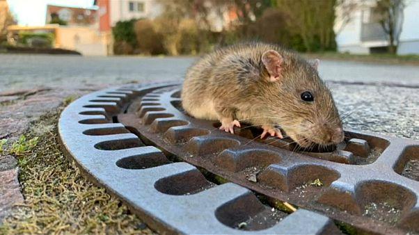 Sauvetage polémique d'un rat en Allemagne