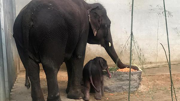 A newborn Asian elephant stands next to her mother in a Belgian zoo