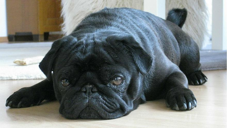 German debt collectors seize pug, before selling it on Ebay