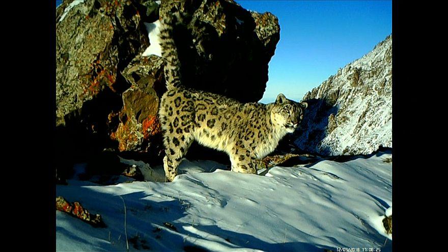 شاهد: لقطات لعائلة من نمور الثلج المهددة بالانقراض بشمال الصين