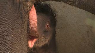 شاهد: حديقة حيوانات بلجيكا تستقبل رضيعة فيل آسيوي
