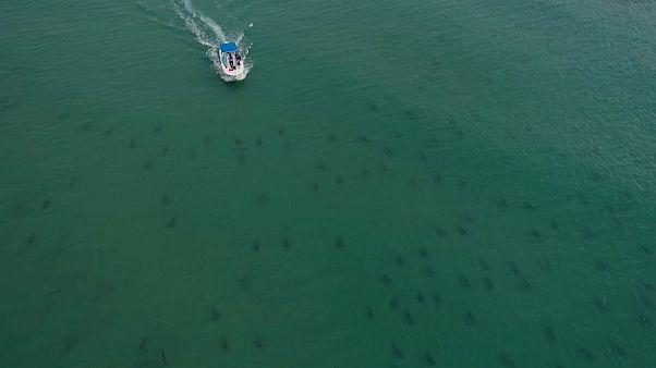 أسماك القرش خلال هجرتها