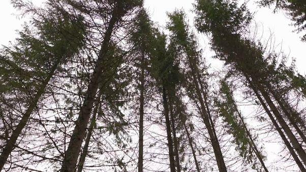 Miles de árboles mueren en Dinamarca por la falta de lluvias