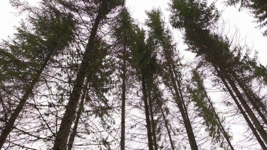 Seca matou milhões de árvores na Dinamarca