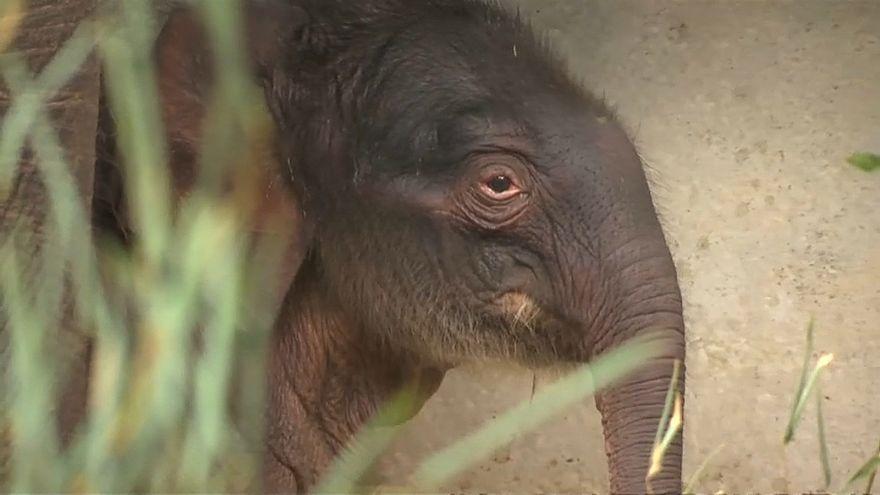 ویدئو؛ تولد بچه فیل ماده در باغ وحش بلژیک