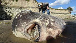 Enormous alien-like hoodwinker sunfish known as Mola teca washes up on California beach