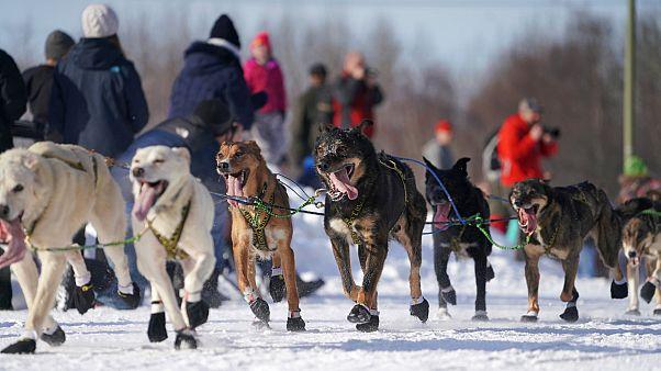 Tierquälerei oder Sport? Hunderennen der Extreme in Alaska