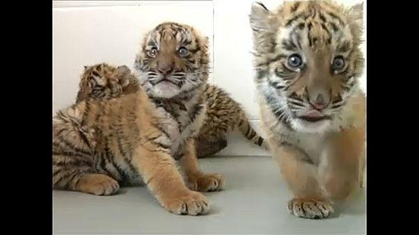 Bemutakoztak a kelet-kínai tigriskölykök