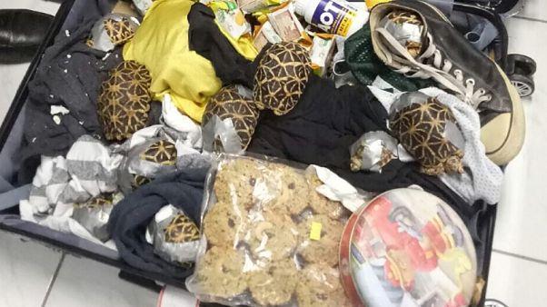 Video | Dört bavul içinde bin 500 egzotik kaplumbağa bulundu