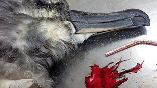 Un albatros de cabeza gris, presúntamente muerto debido a restos de globos.