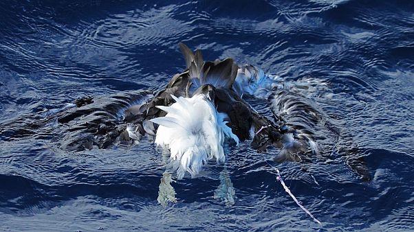 Dies ist ein verstorbener Schwarzbrauenalbatros mit Ballonschnur auf See.