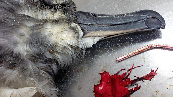 Сероголовый альбатрос, погибший из-за заглатывания части воздушного шара