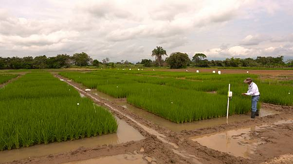 Colombian rice growers fight climate change with Japanese tech