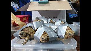 1 529 tortues saisies aux Philippines, vivantes mais entourées d'adhésif
