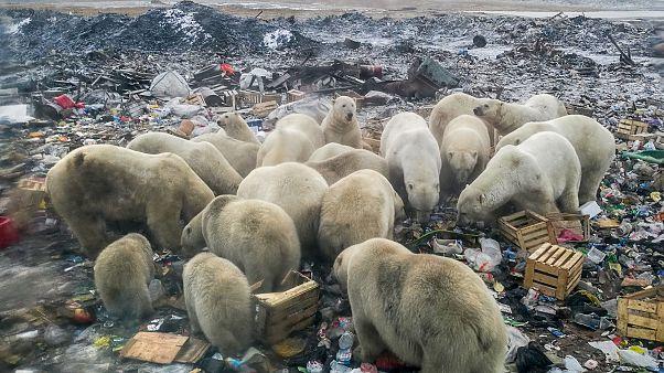بحران زیست محیطی؛ گشت و گذار خرسهای قطبی در زبالههای شهری