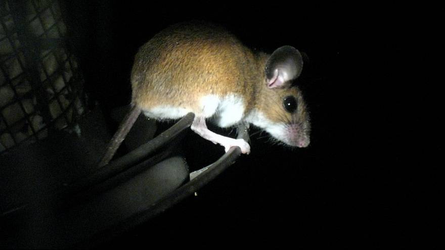 موش در شب