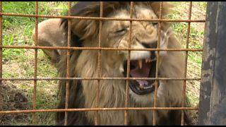 Löwe tötet Halter: Tschechien hat ein Raubtierproblem