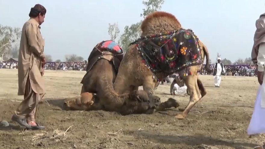 Spectators cheer on camel fighting contest, despite ban