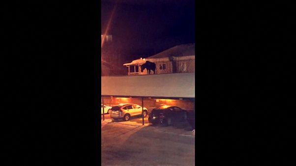 شاهد: غزال ضخم يتمشى على سطح مرآب سيارات باحثاً عن سبيل للنزول!