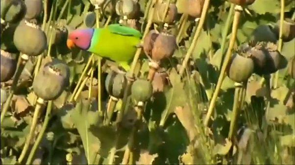 شاهد: ببغاوات مدمنة على الأفيون في الهند!