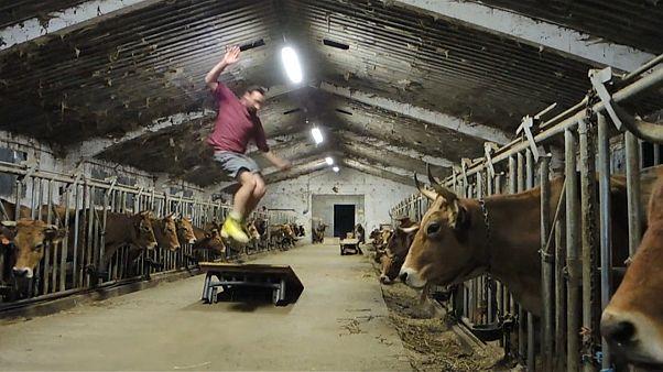 Rinderzucht auf Rollschuhen