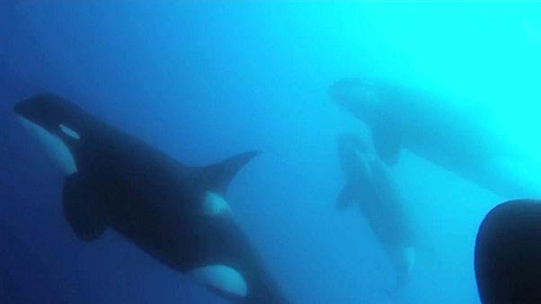 شاهد: اكتشاف نوع جديد من الحيتان القاتلة