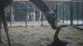 Dagmar and her calf