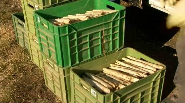 Acqua di cartiera per asparagi precoci e abbondanti: la costosa eco-compatibilità tedesca