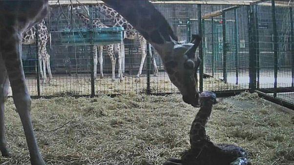 ویدئو؛ لحظه تولد نوزاد زرافه در باغ وحشی در بریتانیا
