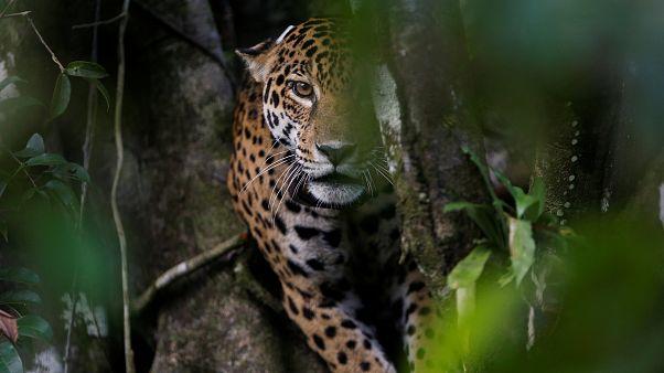 Dişi jaguar