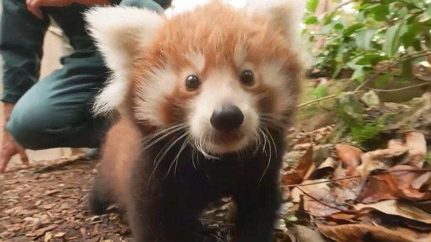 Des pandas, oui, mais des pandas roux