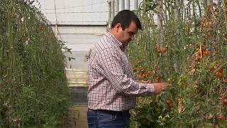 No-Deal-Szenario: Bald keine spanischen Tomaten mehr?