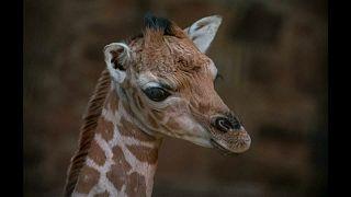 Baby zsiráf született fogságban
