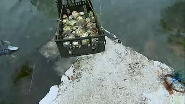Szennyvíz fertőzte meg a dalmát kagylókat