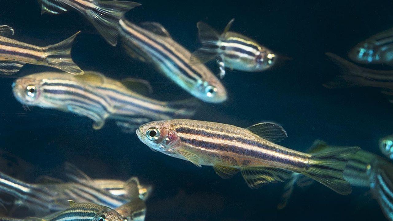 Questo pesciolino può aiutarci a capire perché dormiamo: nel sonno si ripara il dna