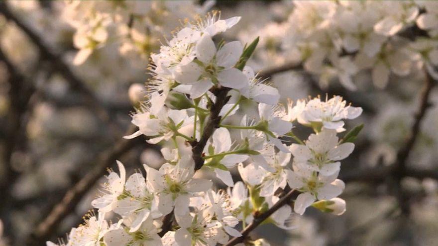 La spettacolare fioritura degli alberi di ciliegio a Guizhou in Cina