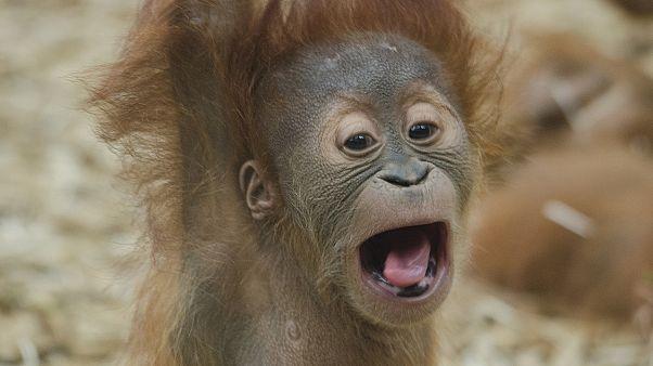 """صغير حيوان الأورانغوتان """"إنسان الغاب"""""""