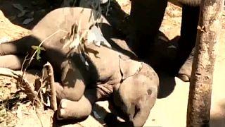 شاهد: فيل أم  تحاول صدّ الحشرات عن طفلها النائم بفروع من الأشجار