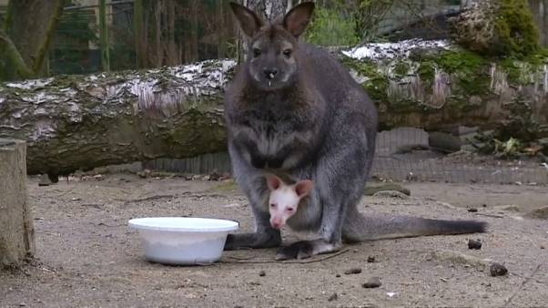 Czech zoo hopes albino wallaby will become star attraction