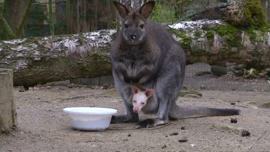شاهد:  صغير من فصيلة الولابي الأبيض أحدث الواصلين إلى حديقة حيوان في التشيك
