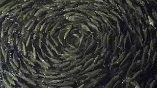 Fish in a fish farm