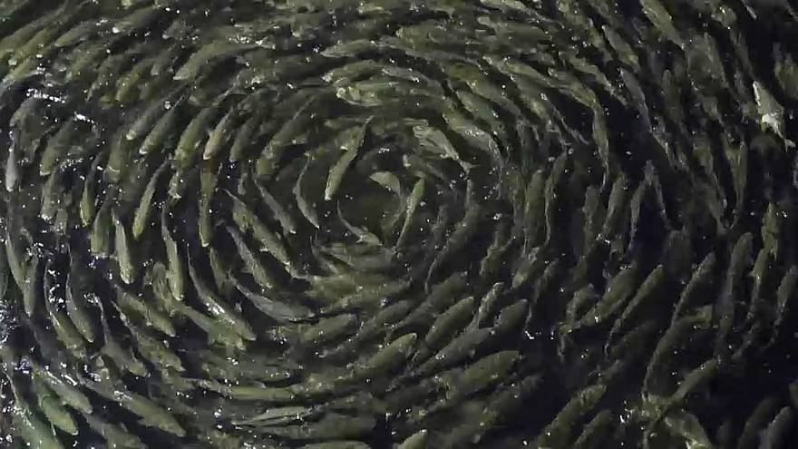 Fish in a fish farm