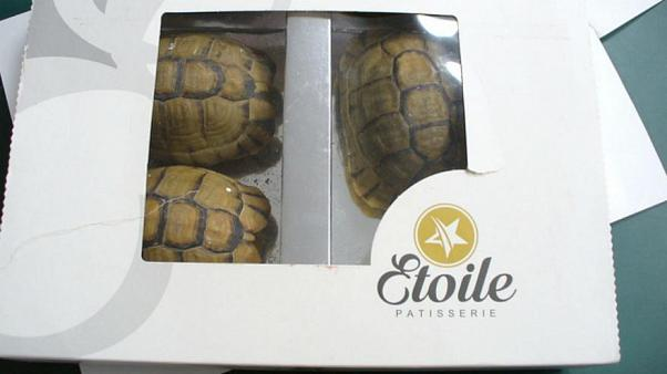 Uomo cerca di contrabbandare tartarughe facendole passare per cioccolatini