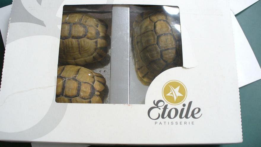 السلاحف داخل صندوق الشوكولاتة