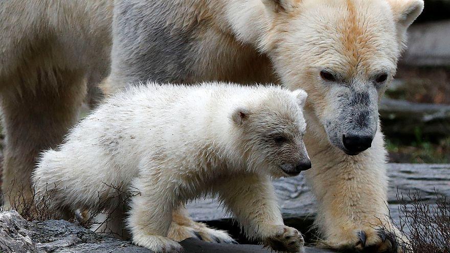 Première sortie pour l'ourson polaire du parc zoologique de Berlin
