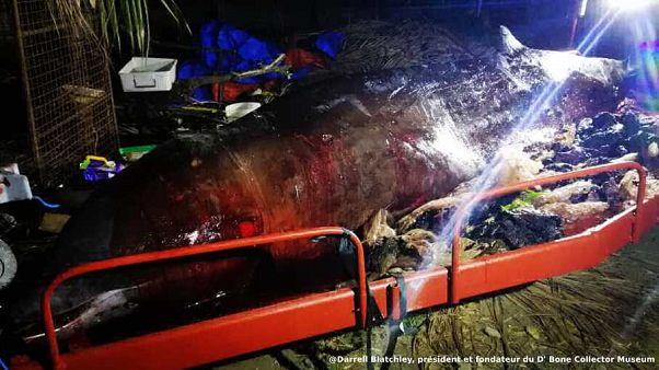 La baleine de Cuvier après son autopsie