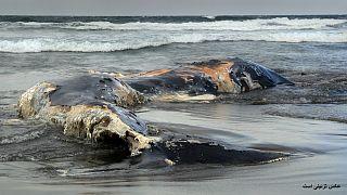 کشف یک نهنگ مرده در فیلیپین با ۴۰ کیلوگرم کیسه پلاستیکی در معده